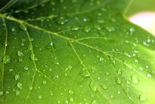 Free Maple Leaf With Raindrops Royalty Free Stock Images - 82986939
