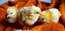 Free Cute Chicks Resting On Blanket Stock Photography - 82986962