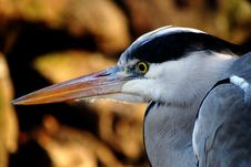 Free Portrait Of A Heron Stock Photos - 82987073