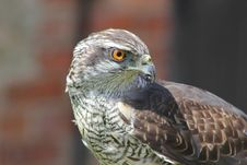 Free Hawk Portrait Royalty Free Stock Photography - 82987107