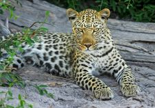 Free White Yellow And Black Spotted Leopard On Gray Stone During Daytime Near Green Leaves Stock Image - 82987231