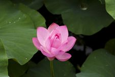 Free Pink Lotus Flower Royalty Free Stock Photography - 82987247