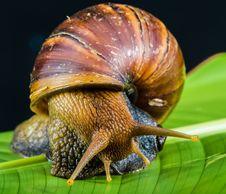 Free Snail On Leaf Royalty Free Stock Photos - 82987268