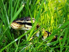 Free Black Yellow Snake On Green Grass Stock Images - 82987324