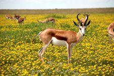 Free Springboks Stood In Flowery Meadow Stock Photo - 82987430
