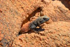 Free Brown And Black Lizard On Stone Stock Photos - 82987753