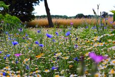 Free Wild Flowers Including Daisies And Corn Flowers Stock Images - 82988084