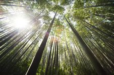 Free Sunlight Over Brown Bamboo Trees Stock Photo - 82988100