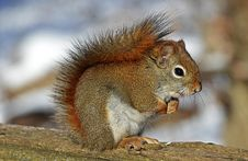 Free Small Squirrel Standing On Brown Wood Stock Photos - 82988153
