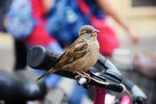 Free Sparrow On Bicycle Hand Brake Royalty Free Stock Photo - 82988155