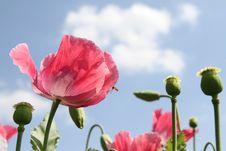 Free Poppies Royalty Free Stock Photos - 82988278