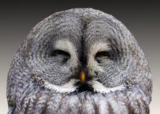 Free Grey Owl Stock Photos - 82988323