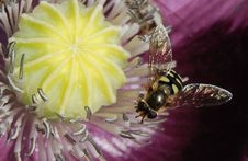 Free Yellow And Black Bee In Yellow Flower Royalty Free Stock Images - 82988349