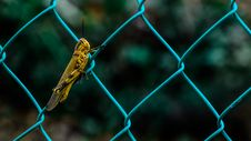 Free Yellow And Black Grasshopper On Teal Cyclone Wire Fence During Daytime In Shallow Focus Photography Stock Photography - 82988602