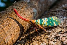 Free Pyrops Candelaria Planthopper Stock Photography - 82988632