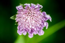Free Scabiosa Flower Royalty Free Stock Photo - 82988645