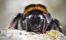 Free Bumble Bee Stock Photo - 82988670
