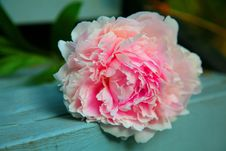 Free Peony Flower On Table Royalty Free Stock Photography - 82988727