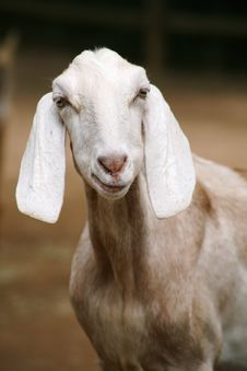 Free Portrait Of Goat Royalty Free Stock Photo - 82988735