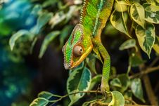 Free Green Chameleon On Green Leaved Tree Royalty Free Stock Photo - 82988805