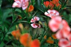 Free Bee On Flower Royalty Free Stock Photos - 82988828