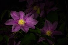 Free Purple Lily Flowers Stock Photo - 82988860
