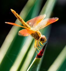 Free Orange Dragonfly On Red And Green Leaf Royalty Free Stock Image - 82988956