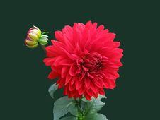 Free Red Dahlia Flower Royalty Free Stock Photo - 82989075