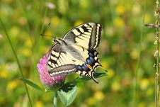 Free Black White And Blue Butterfly On Pink Flower Royalty Free Stock Photography - 82989107