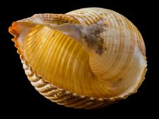 Free Yellow And Brown Sea Shell Royalty Free Stock Photos - 82989138