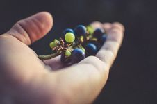 Free Person Holding Purple Grapes Royalty Free Stock Image - 82989356