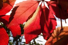 Free Red And Orange Autumn Leaves Close Up Photogrpah Stock Photos - 82989613