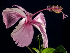 Free Pink Hibiscus Flower Royalty Free Stock Photo - 82989705