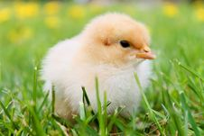 Free White Duckling On Grass Stock Images - 82989814