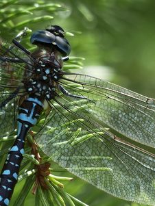 Free Blue Black Dragonfly Stock Images - 82989844