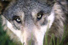Free Portrait Of Grey Wolf Stock Images - 82989864