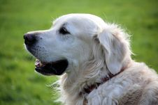 Free Golden Retriever Dog Wearing Red Collar Stock Photo - 82989870