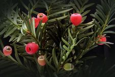 Free Red Fruit On Green Plants Royalty Free Stock Photography - 82989917