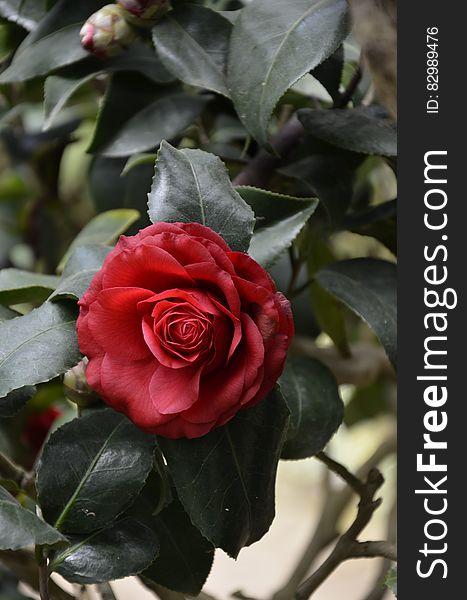 Red Rose Bush One Rose