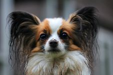 Free White Brown Long Coat Small Dog Stock Photos - 82990053