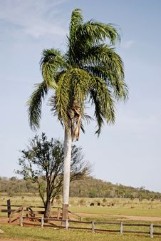 Free Palm Tree In Country Field Royalty Free Stock Photos - 82990108