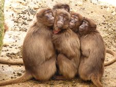Free Five Monkey Huddled Together Outdoor During Daytime Royalty Free Stock Image - 82990116