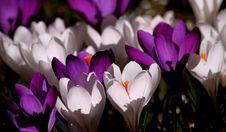 Free White Purple Crocus Flower During Daytime Stock Photography - 82990172