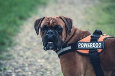 Free Brown Boxer Dog With Orange Black Powerdog Vest Stock Image - 82990211