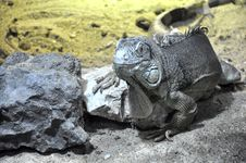 Free Gray Lizard Near Gray Stone Royalty Free Stock Photo - 82990275