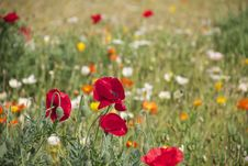Free Red Orange And White Roses On A Grassfield During Daytime Royalty Free Stock Photography - 82990417