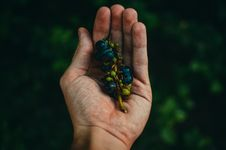 Free Blue Berries On Sprig Cupped In Human Hand Stock Image - 82990721