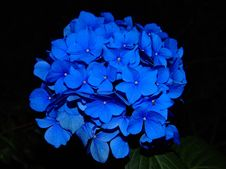 Free Close Up Of Blue Flower Royalty Free Stock Photography - 82990977