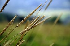 Free Beige Weeds In A Field Of Grass Stock Images - 82990984