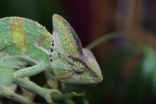 Free Green Chameleon Stock Photography - 82991032